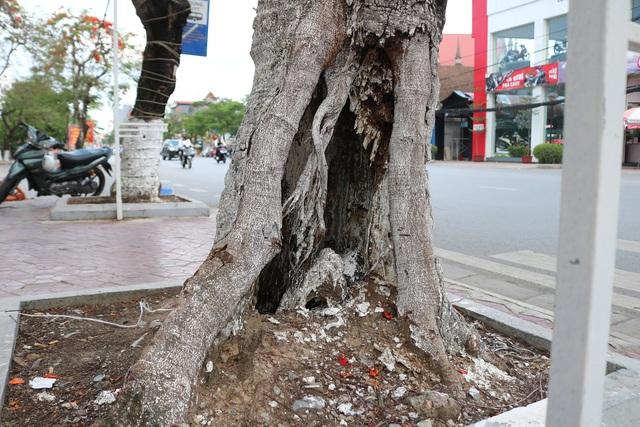 Giật mình với những cây phượng mục ruỗng giữa lòng thành phố Cảng - Ảnh 11.