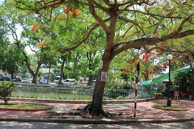 Giật mình với những cây phượng mục ruỗng giữa lòng thành phố Cảng - Ảnh 5.