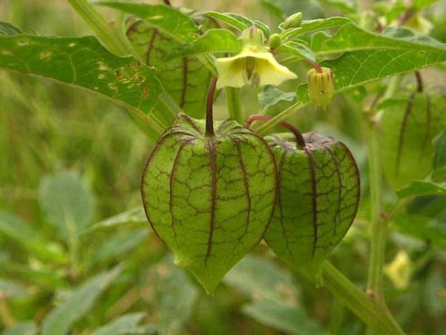 Đây là loại quả mà người Việt chỉ coi là cỏ dại, sang Nhật được tôn như thảo dược quý chữa đủ thứ bệnh - Ảnh 6.