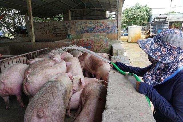 Chợ đầu mối lợn hơi ế ẩm, tiểu thương ngồi đuổi ruồi vì giá quá cao - Ảnh 4.