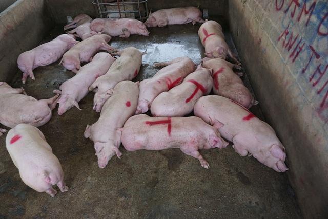 Chợ đầu mối lợn hơi ế ẩm, tiểu thương ngồi đuổi ruồi vì giá quá cao - Ảnh 5.