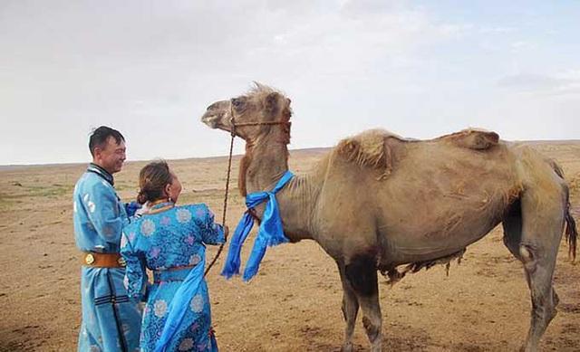 Chú lạc đà vượt 100 km tìm về chủ cũ - Ảnh 1.