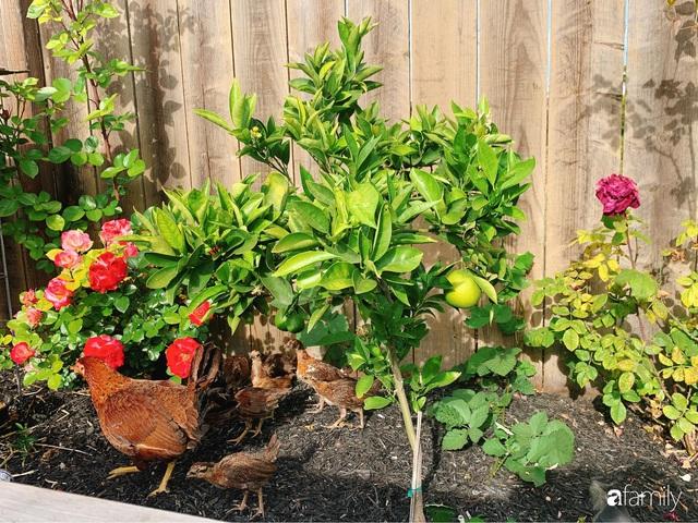 Cuộc sống bình yên, hòa mình cùng thiên nhiên khi trồng rau nuôi gà trong mảnh vườn 650m² của mẹ Việt ở Mỹ - Ảnh 5.