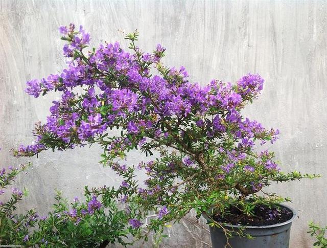Những cây cảnh, loại hoa phù hợp để mừng tân gia, mừng thọ, khai trương - Ảnh 6.