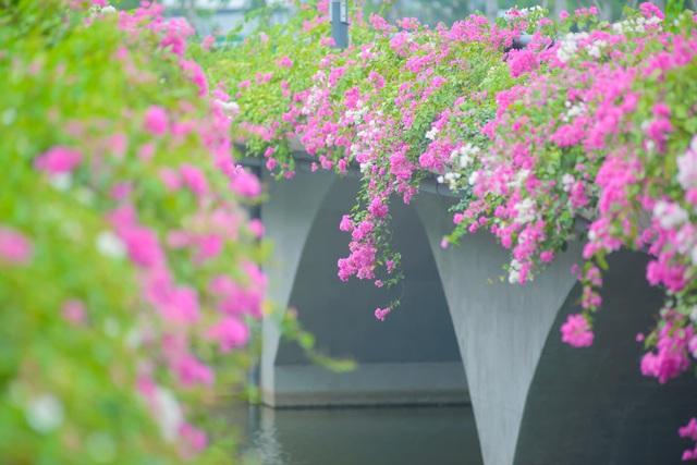 """Cây cầu hoa giấy """"cực phẩm"""" ở Ecopark, check-in sương sương cũng đủ gây bão mạng - Ảnh 10."""