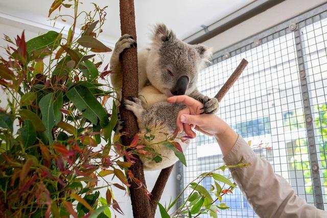 Koala có thể giúp con người chống lại căn bệnh tình dục phổ biến nhất - Ảnh 2.