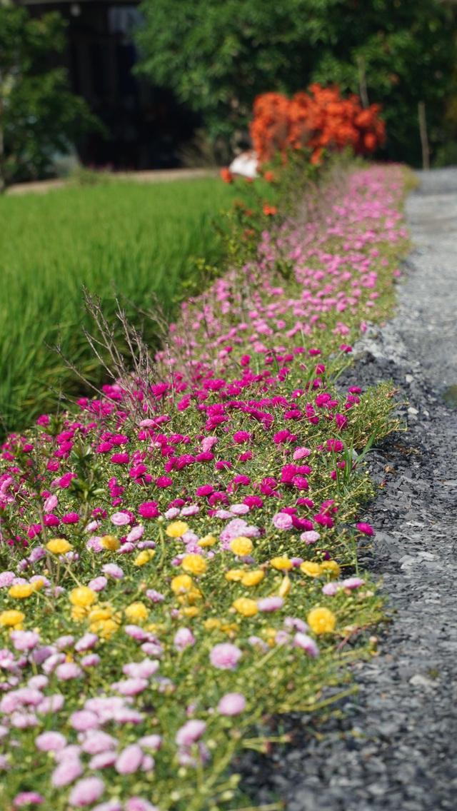 Mê mẩn con đường hoa mười giờ đẹp và lãng mạn nhất Việt Nam - Ảnh 8.