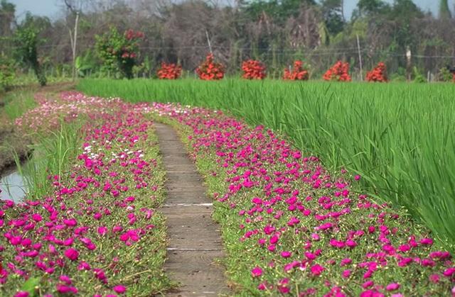 Mê mẩn con đường hoa mười giờ đẹp và lãng mạn nhất Việt Nam - Ảnh 2.