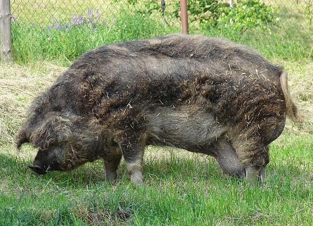 Thịt từ loại lợn có lông xù như lông cừu đắt hàng như tôm tươi nhờ hương vị đậm đà và mềm đến mức như tan trong miệng  - Ảnh 2.