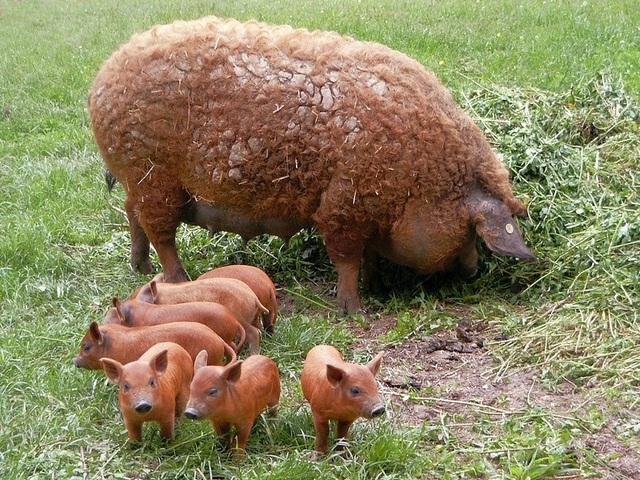 Thịt từ loại lợn có lông xù như lông cừu đắt hàng như tôm tươi nhờ hương vị đậm đà và mềm đến mức như tan trong miệng  - Ảnh 3.