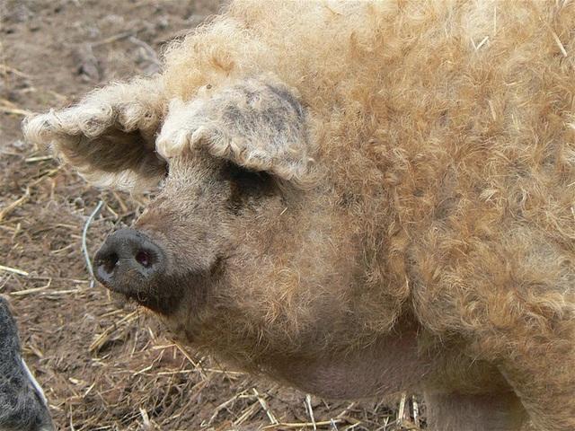 Thịt từ loại lợn có lông xù như lông cừu đắt hàng như tôm tươi nhờ hương vị đậm đà và mềm đến mức như tan trong miệng  - Ảnh 4.