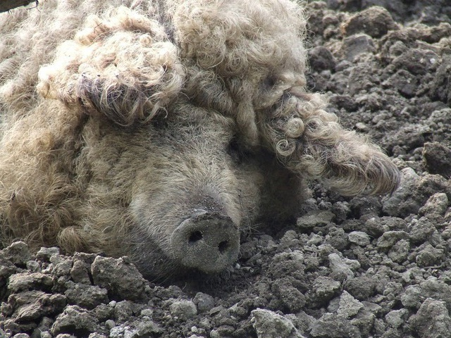 Thịt từ loại lợn có lông xù như lông cừu đắt hàng như tôm tươi nhờ hương vị đậm đà và mềm đến mức như tan trong miệng  - Ảnh 5.