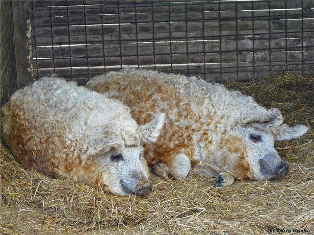 Thịt từ loại lợn có lông xù như lông cừu đắt hàng như tôm tươi nhờ hương vị đậm đà và mềm đến mức như tan trong miệng  - Ảnh 6.