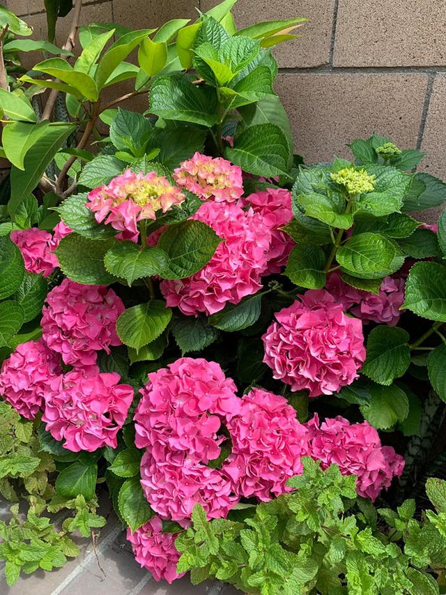 """""""Búp bê"""" Thanh Thảo tránh dịch COVID-19 fan mới có dịp ngắm khu vườn đầy hoa trái trong biệt thự triệu đô của cô ở Mỹ - Ảnh 12."""