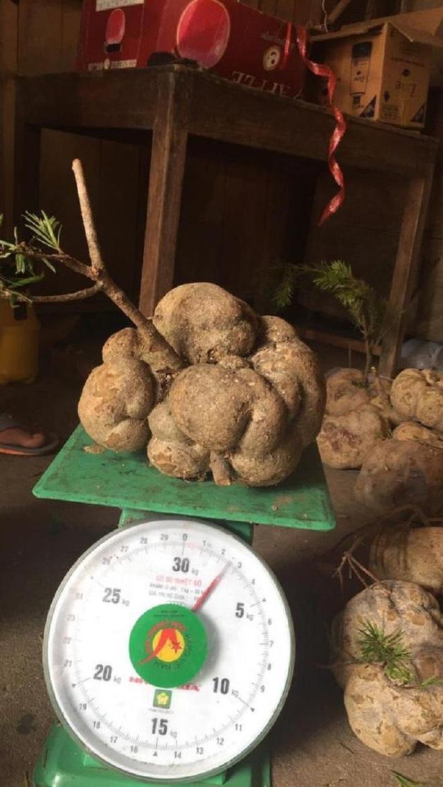 4 loại nấm đắt đỏ được săn lùng ở Việt Nam - Ảnh 4.