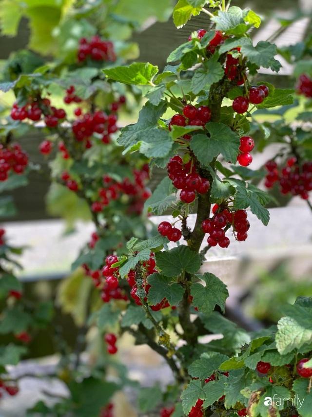 Khu vườn 200m² quanh năm xanh tươi với đủ loại rau quả sạch của mẹ Việt có thâm niên 7 năm làm vườn - Ảnh 11.