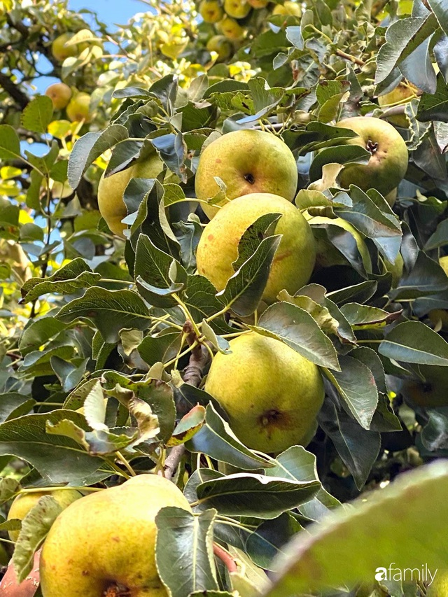 Khu vườn 200m² quanh năm xanh tươi với đủ loại rau quả sạch của mẹ Việt có thâm niên 7 năm làm vườn - Ảnh 13.