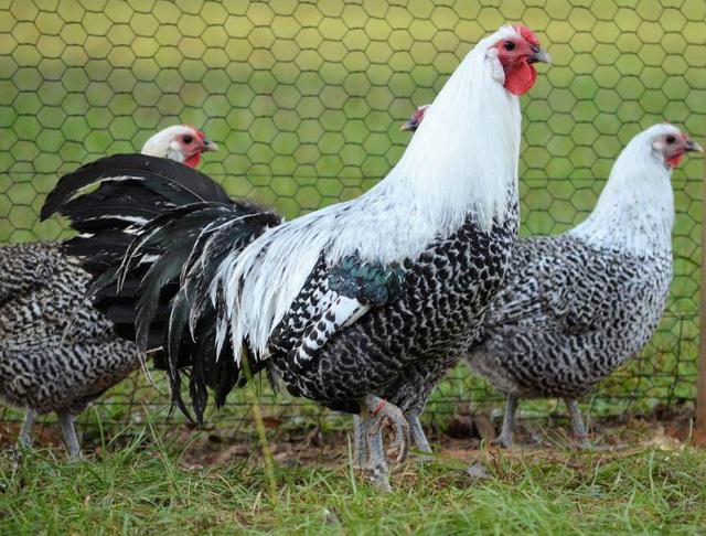 6 giống gà đắt nhất thế giới - Ảnh 5.