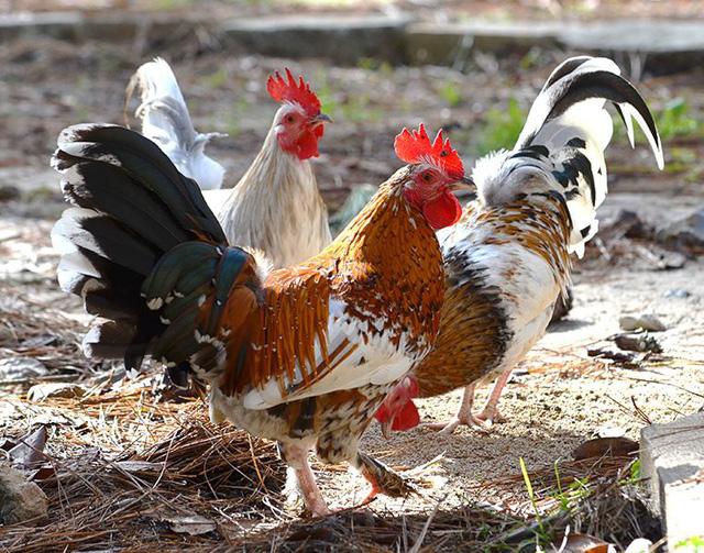 6 giống gà đắt nhất thế giới - Ảnh 6.
