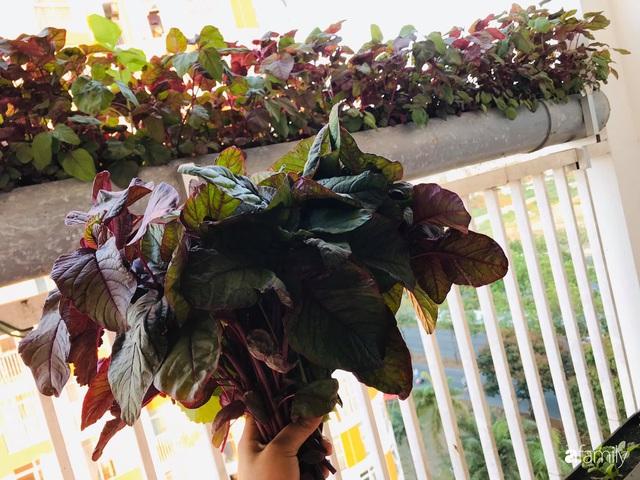 Ban công nhỏ ở chung cư phủ kín đủ loại rau quả sạch nhờ trồng bằng ống nhựa của mẹ đảm ở Sài Gòn - Ảnh 1.
