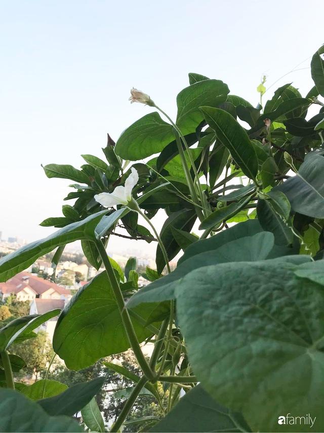 Ban công nhỏ ở chung cư phủ kín đủ loại rau quả sạch nhờ trồng bằng ống nhựa của mẹ đảm ở Sài Gòn - Ảnh 11.