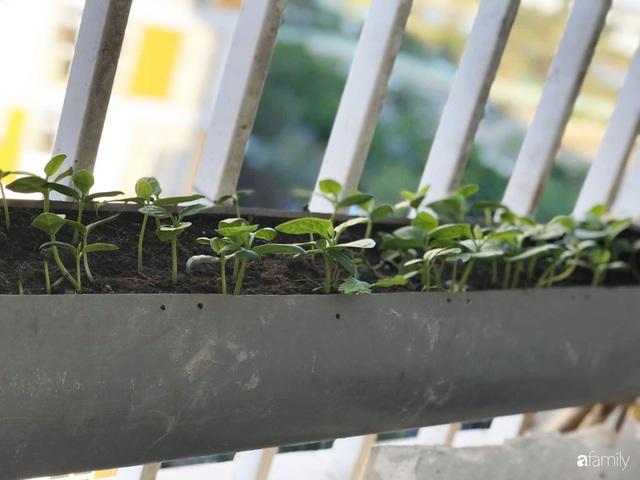 Ban công nhỏ ở chung cư phủ kín đủ loại rau quả sạch nhờ trồng bằng ống nhựa của mẹ đảm ở Sài Gòn - Ảnh 6.