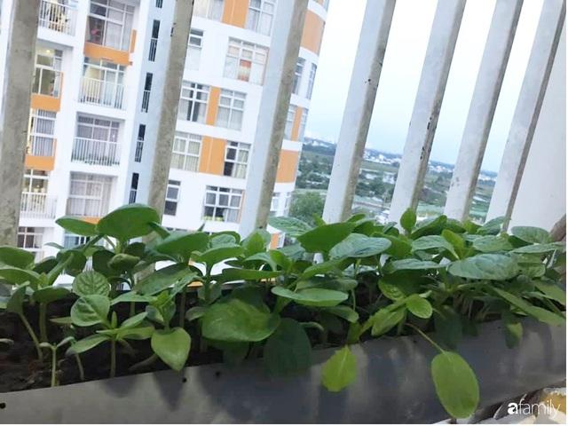 Ban công nhỏ ở chung cư phủ kín đủ loại rau quả sạch nhờ trồng bằng ống nhựa của mẹ đảm ở Sài Gòn - Ảnh 8.