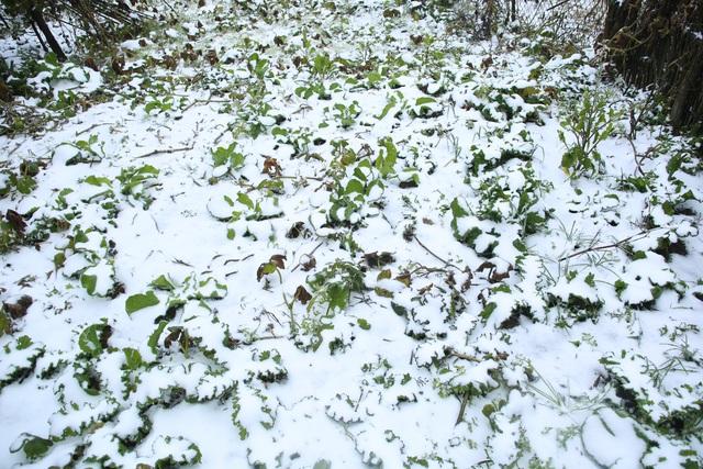 ẢNH: Tuyết phủ trắng, Lào Cai đẹp như trời Âu, người nông dân lại khóc ròng chịu cảnh rau màu bị thiệt hại nặng - Ảnh 7.