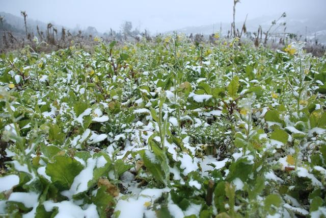 ẢNH: Tuyết phủ trắng, Lào Cai đẹp như trời Âu, người nông dân lại khóc ròng chịu cảnh rau màu bị thiệt hại nặng - Ảnh 9.