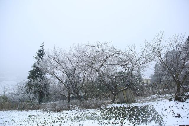 ẢNH: Tuyết phủ trắng, Lào Cai đẹp như trời Âu, người nông dân lại khóc ròng chịu cảnh rau màu bị thiệt hại nặng - Ảnh 5.