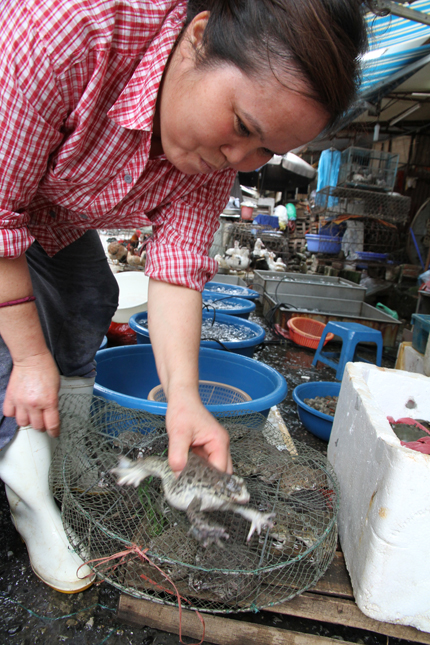 Cá tầm, ếch Trung Quốc: Rước bệnh vì tham rẻ 1