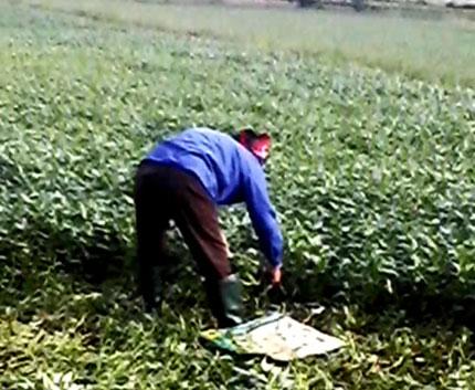 """Kinh hoàng chứng kiến nông dân """"tắm"""" hóa chất, dầu nhớt cho rau muống 4"""