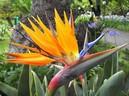Bất ngờ: Loài hoa thiên điểu đẹp rực rỡ chị em hay mua về cắm chứa chất độc nguy hiểm