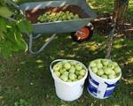 Vườn táo trĩu quả của anh công nhân Việt ở Đức