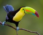 Loài chim khiến giới nhà giàu mê tít chỉ vì cái mỏ giống như chiếc thuyền màu sắc sặc sỡ đến khó tin