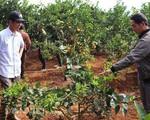 Bỏ cà phê trồng cam lòng vàng kiếm cả tỷ bạc