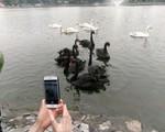"""Thả thiên nga ở Hồ Gươm không có nghĩa """"xúc phạm"""" tới """"cụ Rùa"""""""