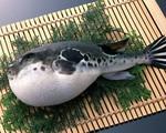 Ở Việt Nam cá nóc khiến nhiều người 'sởn gai ốc', sang Nhật lại biến thành món ăn cao cấp giá nghìn đô