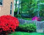 Sắc hoa đỗ quyên ngập vườn nhà Bằng Lăng ở Mỹ