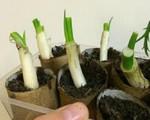Chỉ cần 5 phút trồng hành vào lõi giấy vệ sinh, quanh năm chẳng tốn tiền mua hành lá