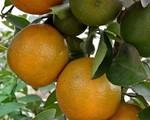 Kinh nghiệm trồng cả vườn cây trái xum xuê như trang trại trên sân thượng của mẹ đảm ở Biên Hòa