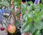 'Siêu phẩm lừa' của năm: Mua cây táo lùn về chưng Tết lại nở ra hoa dâm bụt