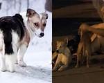 Rơi nước mắt trước những chú chó trung thành: Đợi chủ 6 tháng trong băng tuyết và nhất quyết chạy theo xe chủ nhân đi cấp cứu