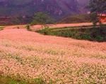 Tam giác mạch - loài hoa kỳ lạ ăn rất ngon, trời ban cứu đói cho người nghèo và là thuốc cho người giàu