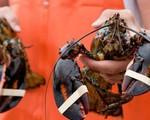 Tôm hùm Mỹ bay nửa vòng trái đất về Việt Nam được bán rẻ như gà, vịt