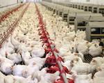 Giá gà công nghiệp rẻ hơn rau, chị em đua nhau làm món dễ 'đưa cơm' mùa thu