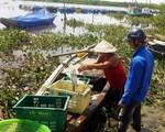 Gần 100 tấn cá nuôi lồng bè ở Hà Tĩnh chết bất thường sau một đêm