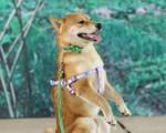 Tranh cãi gay gắt chuyện chó Nhật Shiba Inu đóng vai Cậu Vàng trong phim cùng tên