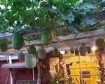 Hạnh phúc của người vợ khi sở hữu khu vườn đủ loại rau trái do chồng tâm lý dành thời gian để tự thiết kế và chăm sóc