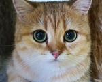 """Bỏ 160 triệu đồng mua mèo Anh, đi ngoài đường ai cũng tưởng mèo """"ta"""""""